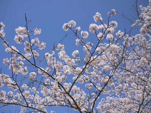 桜2014②.jpg