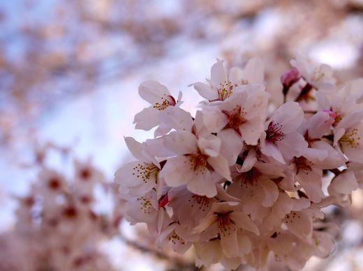 桜2014④.jpg