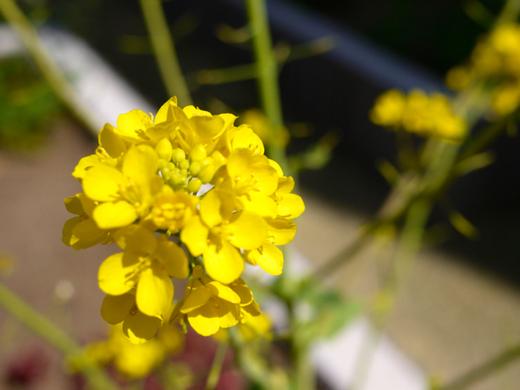 白菜の花.jpg