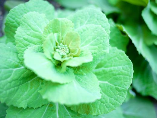 白菜3.jpg