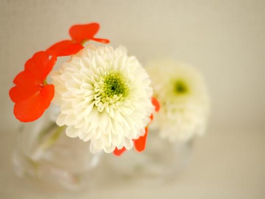 菊とゼラニウム.jpg